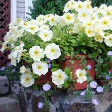 Long Blooming Annual Flowers - how to grow annual flowers annuals gardener u0027s supply