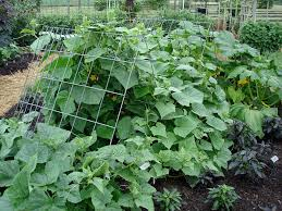 Trellis Vegetable Garden by Growing Cucumbers Bonnie Plants
