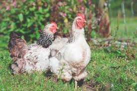 8 benefits of backyard chickens ecology artisans