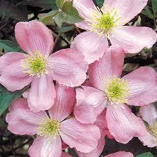 Fragrant Garden Plants Odorata U0027 Clematis From Wayside Gardens
