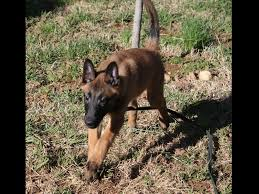 belgian sheepdog brown cabel malinois belgian malinois puppies for sale