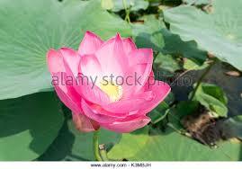 Lotus Flower Bloom - beautiful lotus flower stock photos u0026 beautiful lotus flower stock