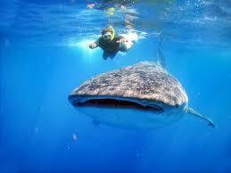 pirate ship show whale sharks combo pirate show cancun