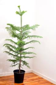 photo of undecorated norfolk pine tree free