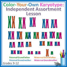 color your own karyotype a lesson on independent assortment