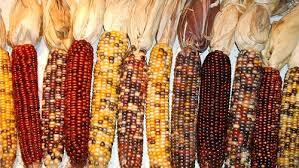 vegetables ornamental corn ornamental corn page 1
