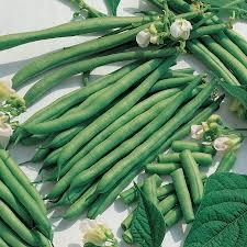 kentucky blue bean seeds from park seed