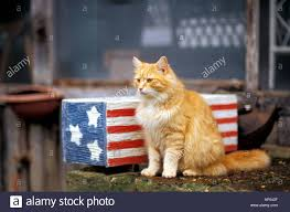 White Blue Orange Flag Mammal Cat Orange Tabby Cat And Rustic Red White And Blue U S Flag