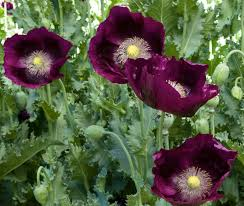 Poppy Flower Garden by In The Garden Annuals Add Color After Perennials Are Through
