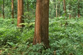 mahogany trees 15 years 15000 trees buy in cagayan
