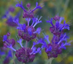 Salvia Flower Salvia Celestial Blue Purple Sage