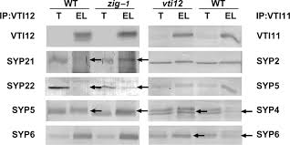 the vti family of snare proteins is necessary for plant viability