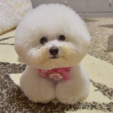 bichon frise dog breeders best 25 bichons ideas on pinterest bichon frise small dogs and
