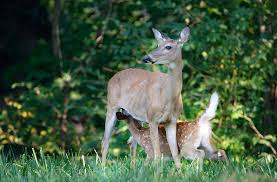 spotted in leawood a li l deer family