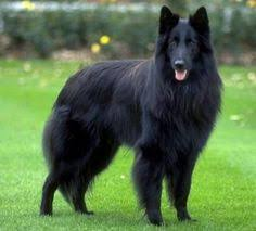 belgian sheepdog coat this is a groenendaeler named indy just like mishka dogs