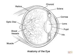 human muscle coloring pages human eye anatomy coloring page free