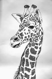 Drawing by Best 20 Giraffe Drawing Ideas On Pinterest Giraffe Art Nursery