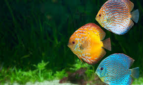 fishes discus tropical fish photo of piranha for hd 16 9 high