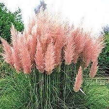 ornamental grass seeds ebay