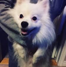 american eskimo dog calgary american eskimo kijiji in alberta buy sell u0026 save with