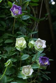 cobea scandens plants pinterest