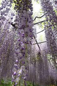 293 best wisteria images on pinterest landscaping flowers and