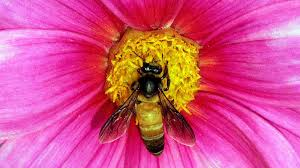 india u0027s bees are dying out and only its farmers know why u2014 quartz