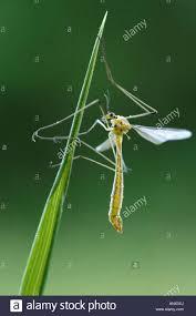 crane flies crane flies daddy long legs tipulidae on blade of