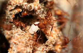 juvenile hormone triggers forager switch in leafcutter ants