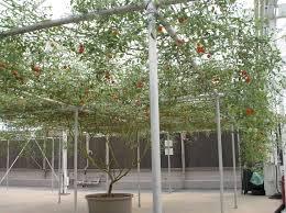 this is one single tomato plant pics