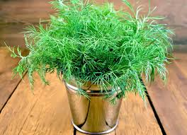 growing dill plants in your herb garden
