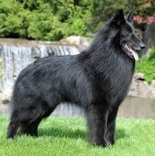 belgian sheepdog intelligence belgian groenendael all big dog breeds