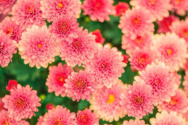 the flowers of summer at free photo plant nature pink flowers garden summer max pixel