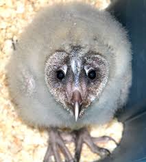 What Does A Barn Owl Look Like Is This Baby Barn Owl Cute Or Ugly Find It And 9 More Baby