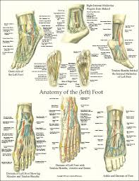 Foot Tendons Anatomy 135 Best Anatomy And Physiology Images On Pinterest Human
