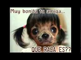 Memes De Chihuahua - ayudando peritos memes