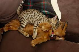 Cats In Dog Beds 25 Hilarious Photos Of Cats Sleeping On Dogs