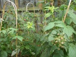 raspberry heritage tree rubus idaeus
