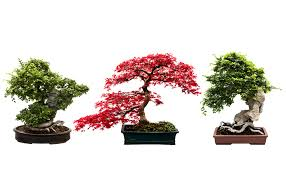 how do you grow bonsai wonderopolis