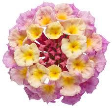 luscious pinkberry blend lantana camara proven winners