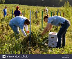 gleaning stock photos u0026 gleaning stock images alamy