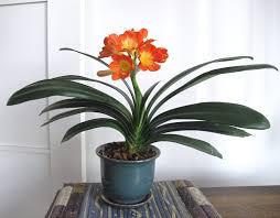 clivia indoor plant with orange flowers flowering clivia indoor