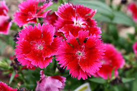 dianthus flower cherry dianthus flowers picture free photograph photos