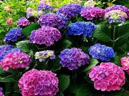 hydrangeas flowers 162 best hydrangeas images on hydrangeas floral