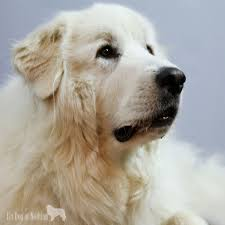 will my great pyrenees bark all the time it u0027s dog or nothing
