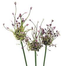 allium flowers violet allium flowers