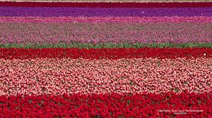 Netherlands Tulip Fields Netherlands Fields Europe Tulip Flowers Tulips Cute Flower Desktop