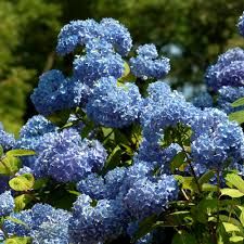 Hydrangea by Hydrangea Shrubs Learn About Some Popular Types