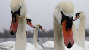 Six Flags Decapitation Six Swans Found Stabbed And Beheaded In London Parks News The