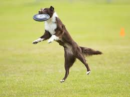 australian shepherd frisbee photos of amazing frisbee dogs from around the world from the